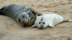 Seals at Horsey, Norfolk
