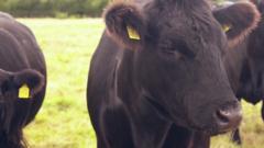 A-COW.