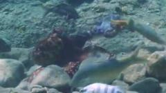 An octopus punches a fish