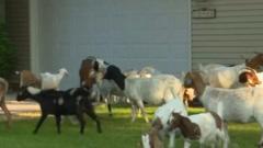 Goat takeover a garden