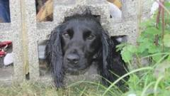 Cocker spaniel with head stuck in wall