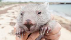 Derek the wombat