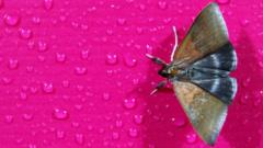 A Moth on a pink rose.