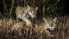 A photo at night time of a jaguar and a cub in a mangrove forest