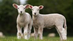 pair-of-lambs.
