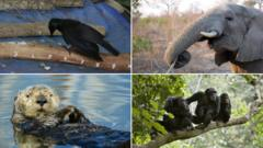 Composite image of crow, elephant, sea otter, and chimpanzees.