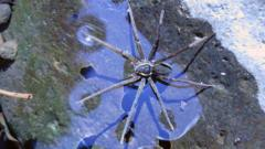 A big spider called Dolomedes briangreenei