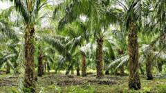 Oil palms