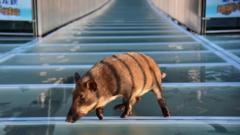 Hog on bridge