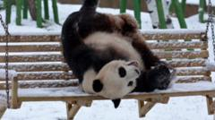 Panda playing in snow