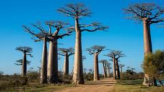 Baobab-trees.