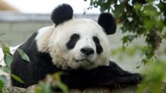 Panda at Edinburgh Zoo
