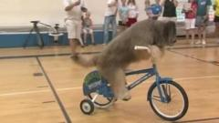 Norman the French sheepdog rides on a bicycle