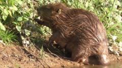 Beaver mother