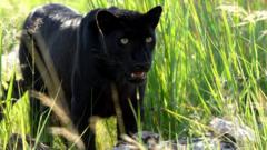 Black Indonesian leopard