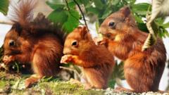 Red squirrels.