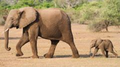 Baby elephant following mother