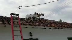 Goats stuck on a roof