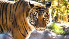 tiger-generic.