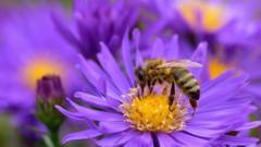 Bee on Alpine aster flower