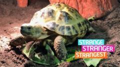 Herman the tortoise
