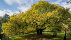 Allerton Oak tree in Calderstone park