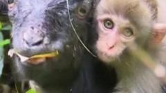 Monkey and Goat