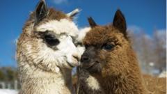 'Fancy a romantic trip to Paris..?' 'Alpaca my bag' said the romantic alpaca in Quebec, Canada.
