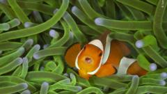 a clownfish swimming in anemone