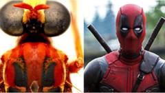 The Deadpool fly