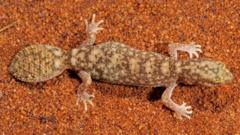 flat tailed gecko