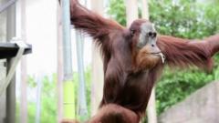 Orangutan in Melbourne Zoo