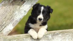 Border-collie-puppy.