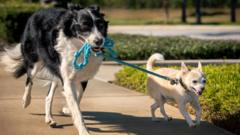 A black and white Border Collie holds the leash of a tan and white Chihuahua while both dogs walk.