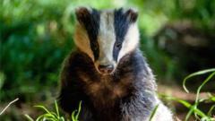 badger-in-natural-habitat