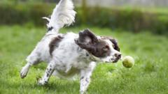 A dog chases a tennis ball