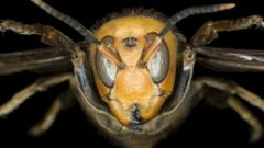 Asian giant hornet head