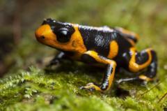 poison-dart-frog.