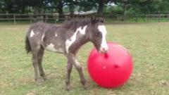 Microdave the tiny horse