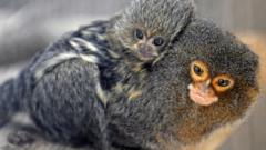 Marmoset carrying baby