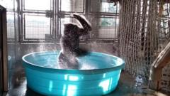 Zola the gorilla has been showing off his dance moves in his new paddling pool at Dallas Zoo.