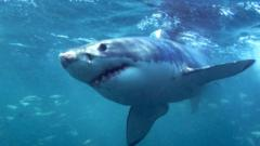 File picture of a great white shark
