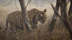 A wild tiger in Ranthambhore, India