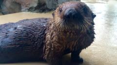 Asthmatic sea otter Mishka photographed at the Seattle Aquarium