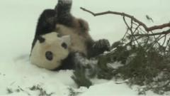 Finland's new pandas were being allowed outside for the first time since arriving in Finland last month.