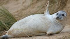 Grey seal waving