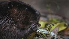 File photo of a beaver in Canada