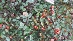 Cotoneaster hedges