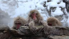 Three macaques lean on rocks next to their hot spring.