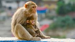 A female rhesus macaque and baby